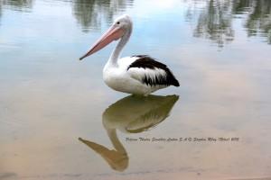 Pelican Thieles sandbar Loxton